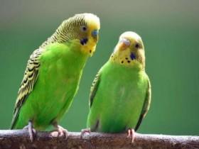 狸哥说:总结鹦鹉伤口感染葡萄球菌后的症状及治疗方法