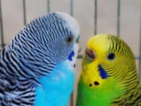 狸哥说:虎皮鹦鹉发情期的特征及可以繁殖的几种表现