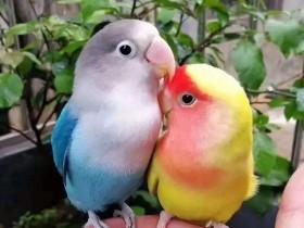 狸哥说:牡丹鹦鹉吃什么饲料?养牡丹鹦鹉鸟的饲养技巧