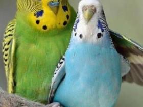 狸哥说:新手应该选择饲养什么品种的鹦鹉?