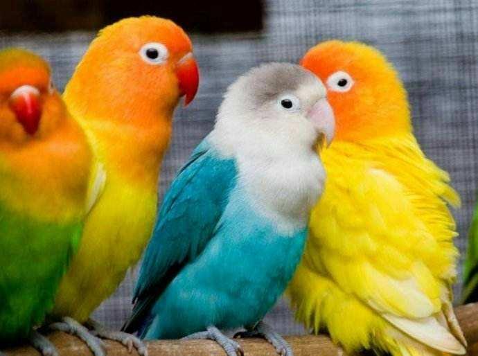 分享几个买牡丹鹦鹉时选鸟的经验
