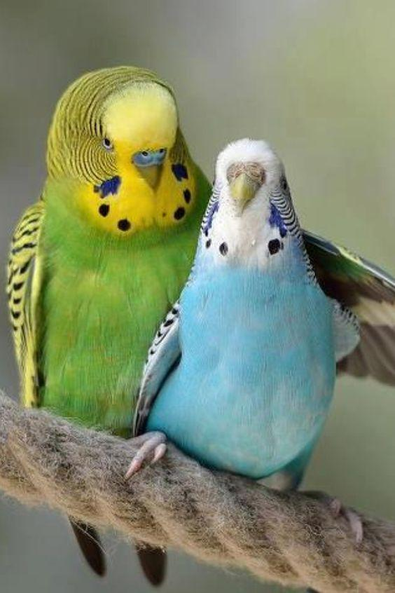 Budgerigar _ Bird Breed _ Information _ Pictures and Characteristics.jpg
